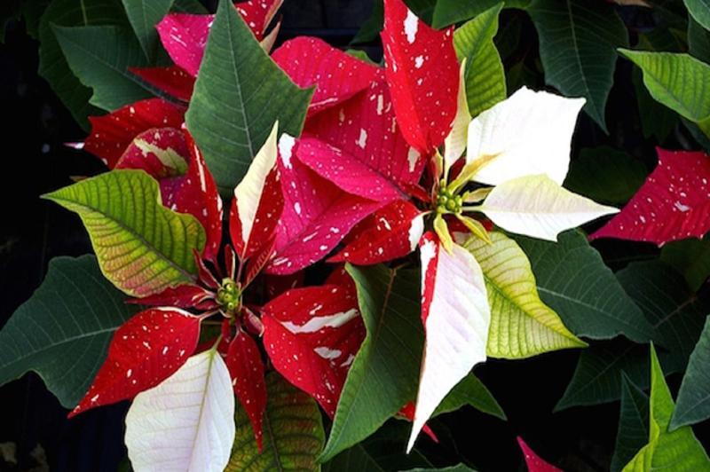 Эуфорбия Рождественская звезда