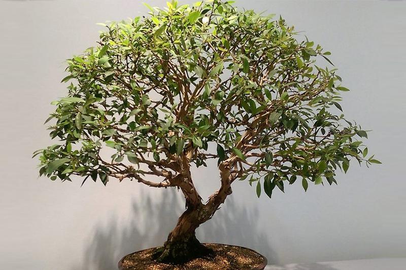 Брахихитон дерево счастья
