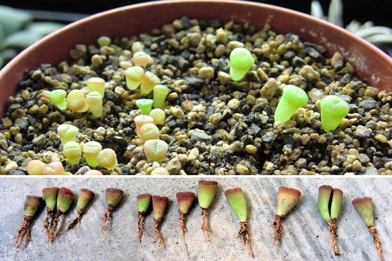 Литопсы размножение