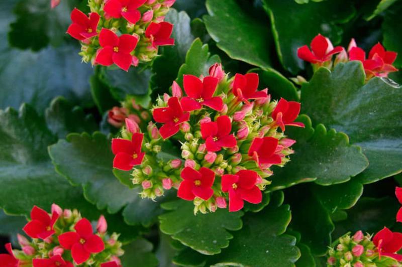 Красный каланхоэ
