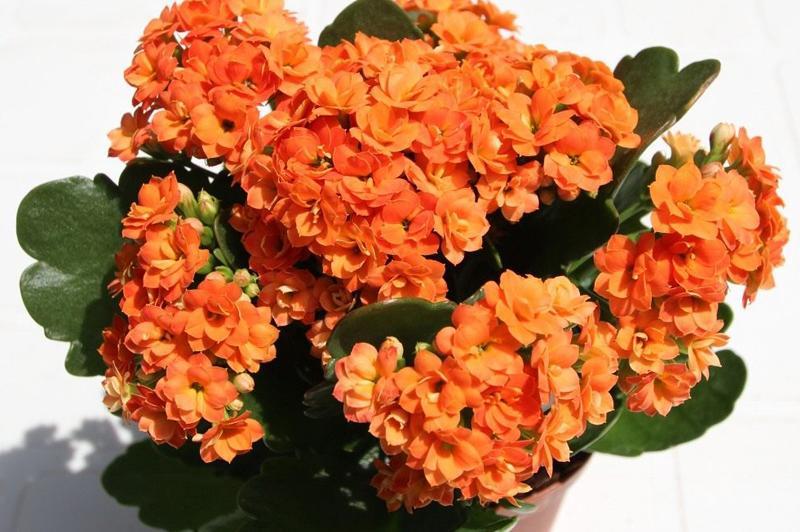 Каланхоэ оранжевый