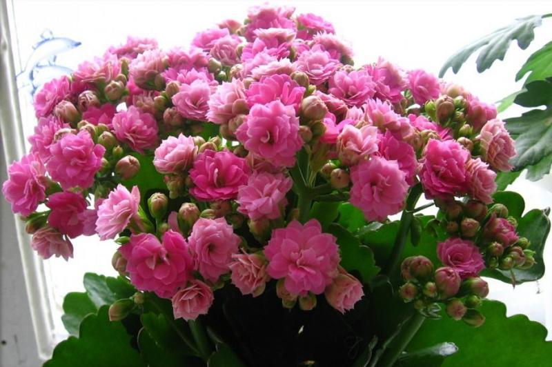 Каланхоэ розовый