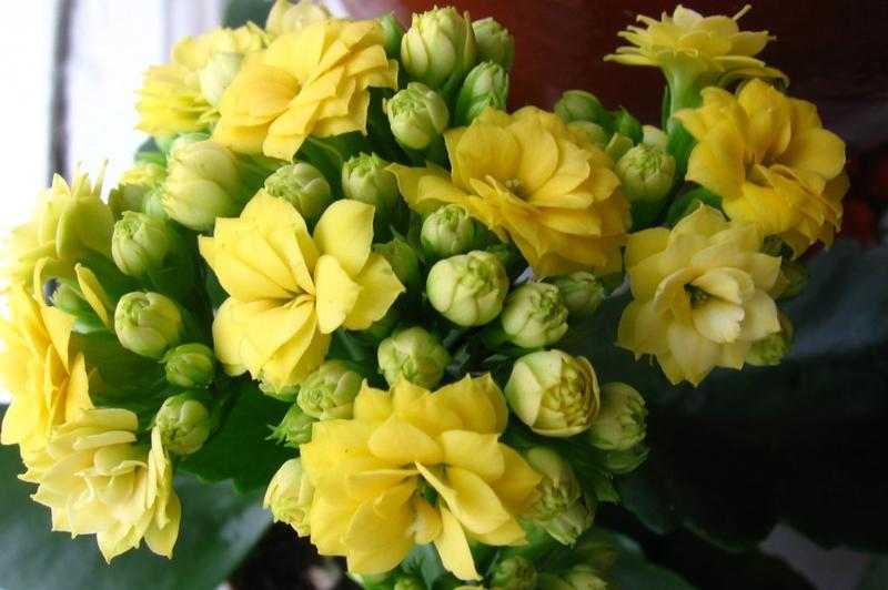 Каланхоэ желтый