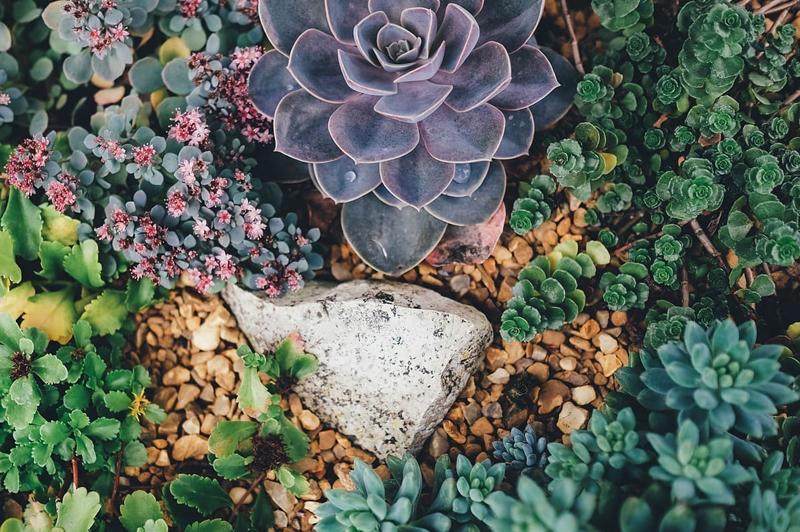Седум в саду