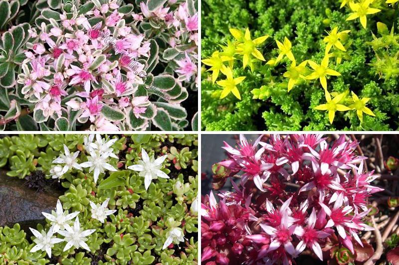 Цветы седума