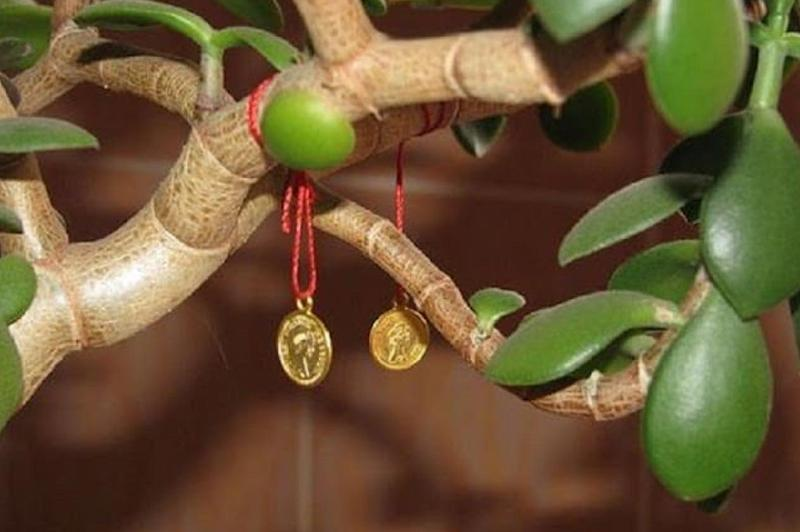 Денежное дерево суеверия