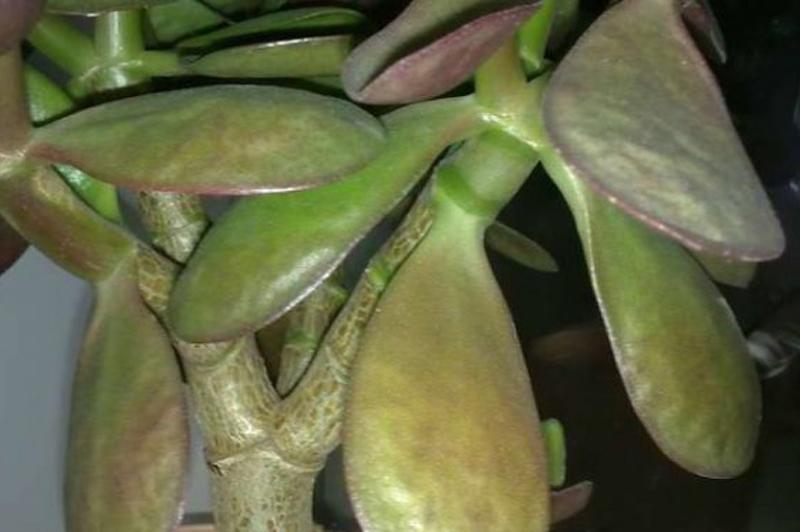 Фиолетовые листья у денежного дерева