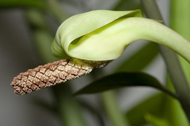 Цветение Замиокулькаса 4