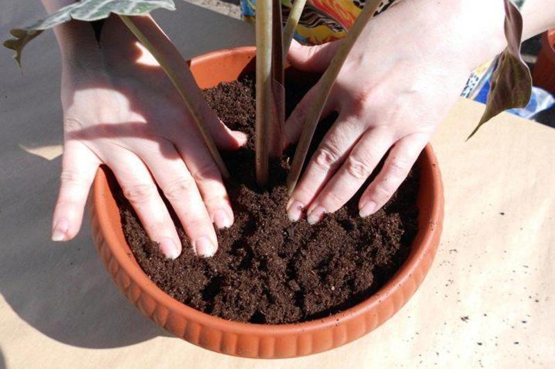 Афеландра: правила содержания тропического растения