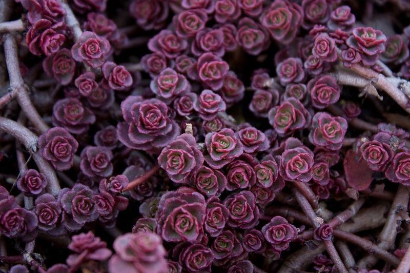 Очиток Пурпурный ковер