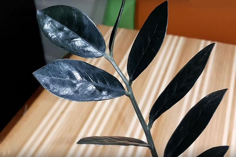 Замиокулькас черный 2