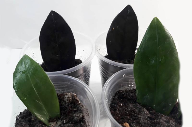Замиокулькас чёрный 5