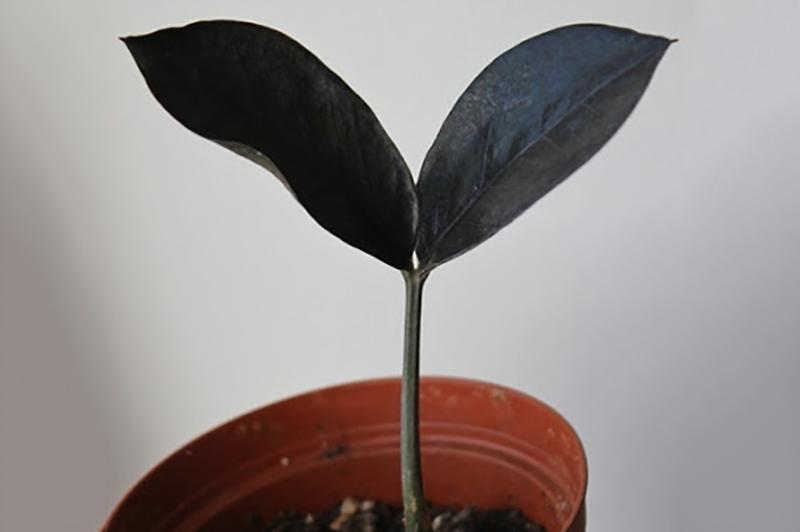 Замиокулькас чёрный 7