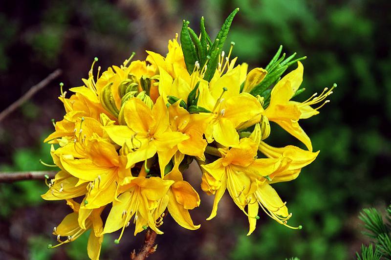 Азалия Нарциссифлора