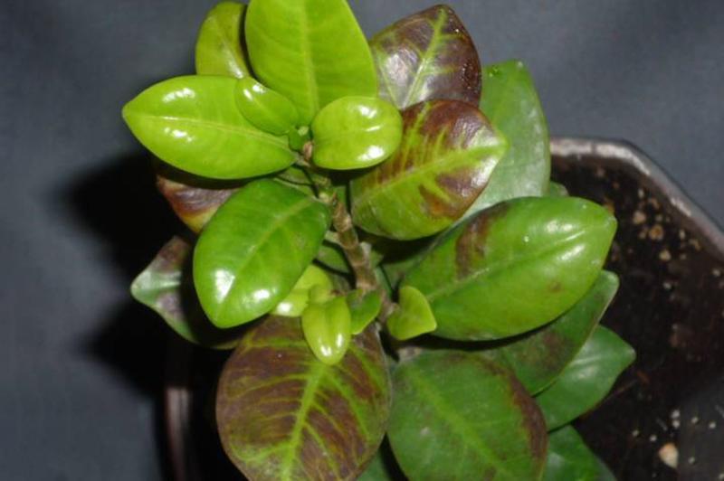 Чернеют кончики листьев Азалии