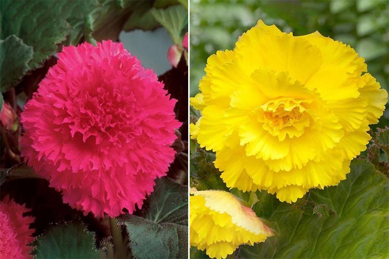 Цветы бегонии Фимбриата