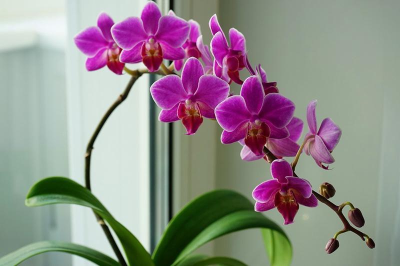 Орхидные суккуленты