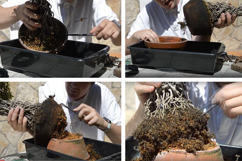 Пересадка бонсай из Азалии