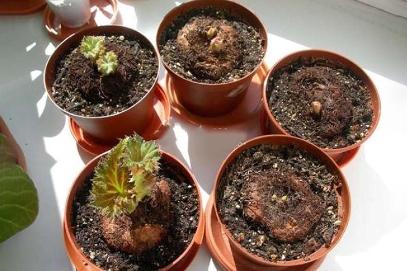 Выращивание клубней