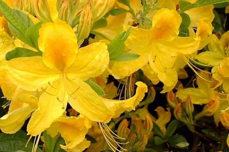 Желтая Азалия