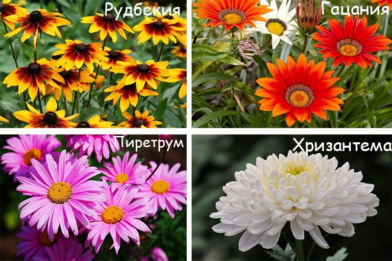 Похожие на герберы цветы