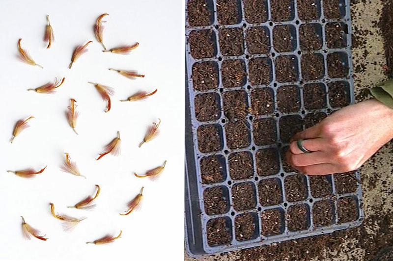 Размножение герберы