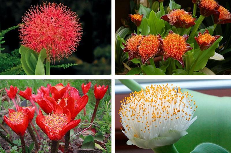 Цветки гемантуса