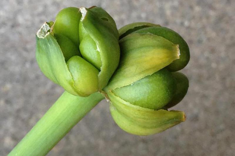 Семена_гименокаллиса
